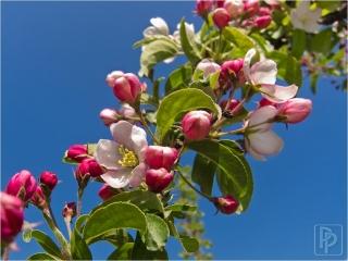 appel-bloesem-2
