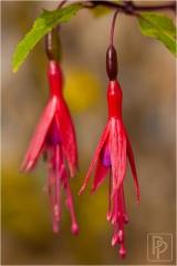 fuchsia-magellanica-var-gracilis
