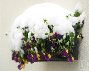 viooltjes-sneeuw